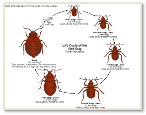 Bed Bug Pictures NYC, Get Rid of Bed Bugs NYC, Bed Bug Spray NYC,