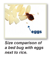 How to Get Rid of Bed Bugs Brooklyn, How to get Rid of Bed Bugs NYC, What to do Bed Bugs look like Brooklyn, Bed Bug Eggs Brooklyn, Bed Bug Pictures Brooklyn,